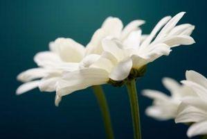 Krysantemum allergi