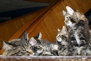 Symptomer på Allergi mot Cat Dander
