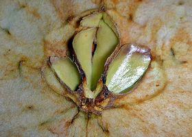 Medisinsk bruk av Apple Seed