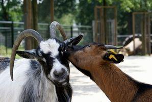 Sykdommer forårsaket av Goat Milk