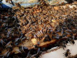 Informasjon Om Bee Propolis