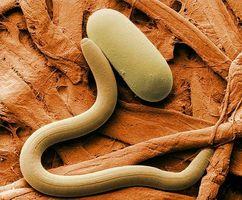 Life Cycle av en nematode