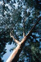 Hvordan å destillere olje fra eukalyptus blader