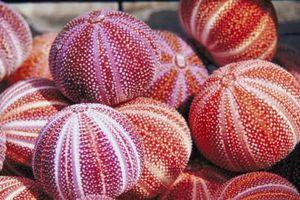 Hva gjør et Sea Urchin bruke for å beskytte seg selv?