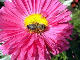 Hva er farene ved å spise bee pollen?