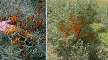 Sea Buckthorn Oil helsemessige fordeler