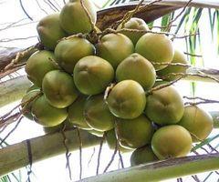 Virgin Coconut Oil Bruker og fordeler