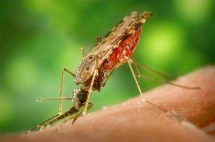 Om effekten av mygg på mennesker