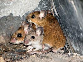 Hvordan bli kvitt mus i hjemmet ditt