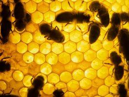 Honey g Agave