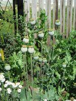 Naturlige Bedøvelse i Plants