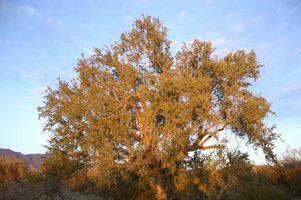 Mesquite Tree Allergi
