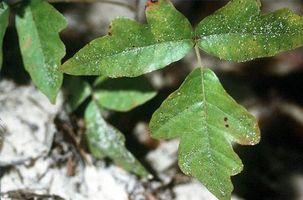 Om Poison Oak